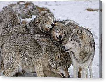 Happy Wolf Pack Canvas Print by Wolves Only