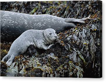 Harbor Seal Pup Resting Canvas Print by Suzi Eszterhas