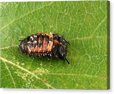 Harlequin Ladybird Larva Early Pupating Canvas Print by Nigel Downer