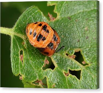 Harlequin Ladybird Larva Late Pupating Canvas Print by Nigel Downer