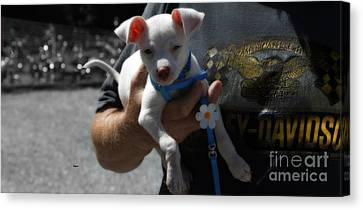 Harley's Baby Canvas Print by Steven  Digman