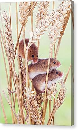 Harvest Mice On Wheat Canvas Print by John Devries