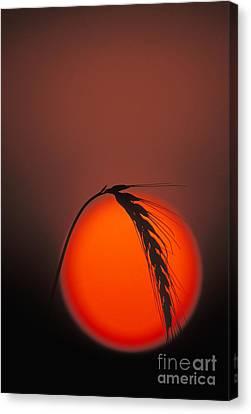 Harvest Sunset - Fs000416 Canvas Print by Daniel Dempster