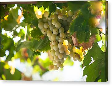 Harvest Time. Sunny Grapes Iv Canvas Print by Jenny Rainbow