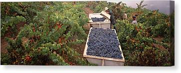 Harvesting Grapes In A Vineyard, Napa Canvas Print by Panoramic Images