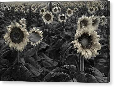 Haunting Sunflowers Field 3 Canvas Print by Dave Dilli