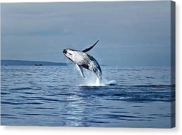 Hawaii Whale Breach Canvas Print by Pasha Reshikov