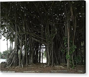 Hawaiian Banyan Tree - Hilo City Canvas Print by Daniel Hagerman