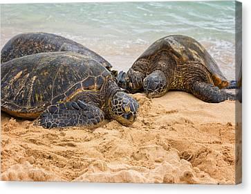 Hawaiian Green Sea Turtles 1 - Oahu Hawaii Canvas Print by Brian Harig