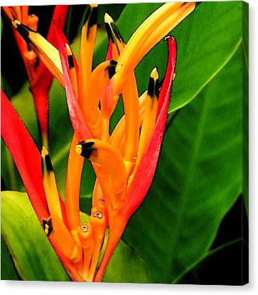 Hawaiian Parakeet Heliconia Canvas Print by James Temple
