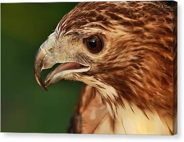 Hawk Eyes Canvas Print by Dan Sproul