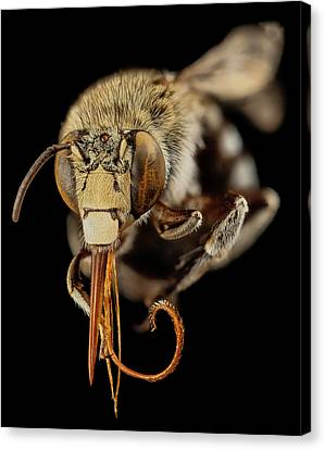Head Of A Blue Banded Bee Canvas Print by Us Geological Survey