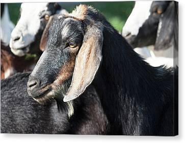 Head Of Black And Tan Domestic Goat Canvas Print by Piperanne Worcester