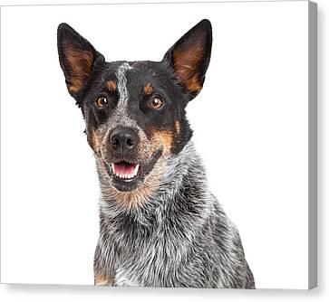 Head Shot Of An Australian Cattle Dog Canvas Print by Susan  Schmitz