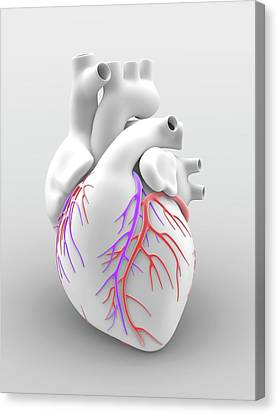 Heart And Coronary Arteries Canvas Print by Alfred Pasieka