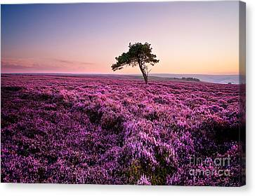 Heather At Sunset Egton Moor Canvas Print by Janet Burdon