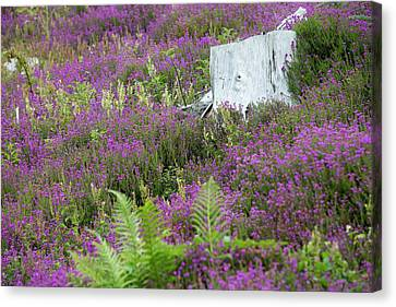 Heather Growing Canvas Print by Ashley Cooper