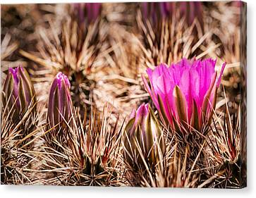 Hedgehog Cactus Flower And Buds Canvas Print by  Onyonet  Photo Studios