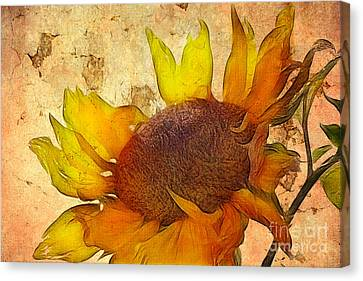 Helianthus Canvas Print by John Edwards
