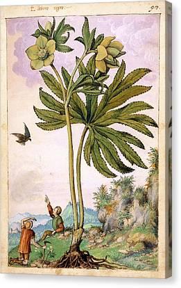 Helleborus Viridis Flowers Canvas Print by British Library