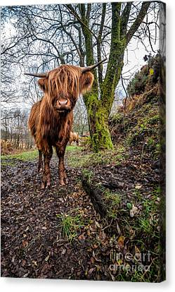 Hello Cow Canvas Print by Adrian Evans