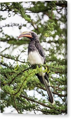 Hemprichs's Hornbill (tockus Hemprichii) Canvas Print by Peter J. Raymond