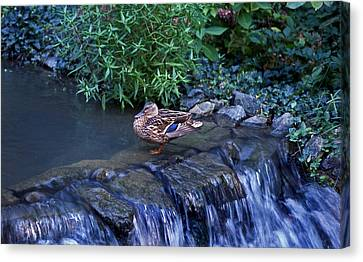 Hen Fall Canvas Print by Skip Willits