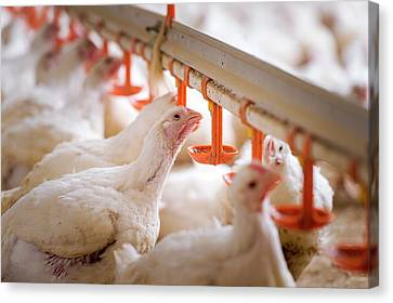 Hens Feeding From Plastic Containers Canvas Print by Aberration Films Ltd