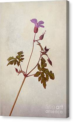 Herb Robert Canvas Print by John Edwards