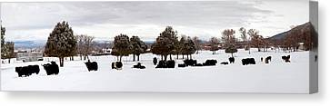 Herd Of Yaks Bos Grunniens On Snow Canvas Print by Panoramic Images