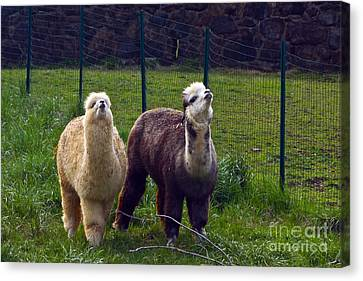Here Comes Royalty Canvas Print by Byron Varvarigos