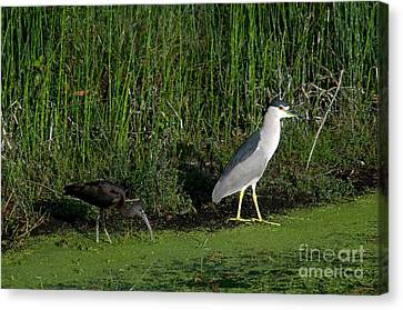 Heron And Ibis Canvas Print by Mark Newman