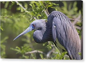 Heron In Blue Canvas Print by Kenneth Albin
