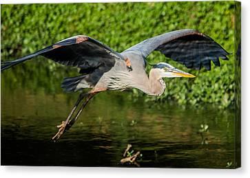 Heron In Flight Canvas Print by Parker Cunningham