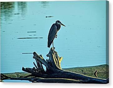 Heron Waiting For The Sun Canvas Print by Maralei Keith Nelson