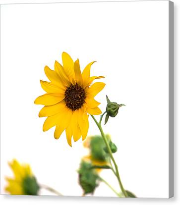Hi Key Sunflower Canvas Print by Peter Tellone