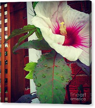 Hibiscus Flower In Bloom Canvas Print by Charlie Cliques