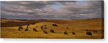 High Angle View Of Buffaloes Grazing Canvas Print by Panoramic Images