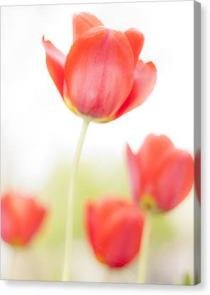 High Key Tulips Canvas Print by Adam Romanowicz