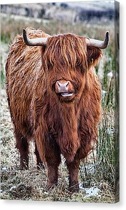 Highland Coo Canvas Print by John Farnan