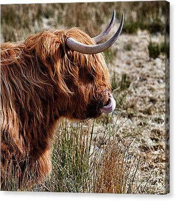 Highland Coo With Tongue In Nose Canvas Print by John Farnan