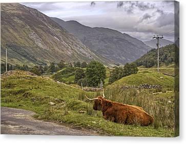 Highland Cow In Scotland Canvas Print by Jason Politte