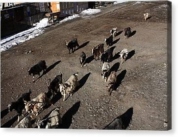 Himalayan Mountain Goats Canvas Print by Aidan Moran