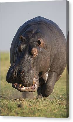 Hippopotamus Bull Charging Botswana Canvas Print by Vincent Grafhorst