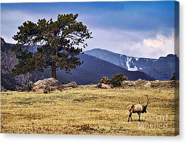 His Last Winter Canvas Print by Catherine Fenner