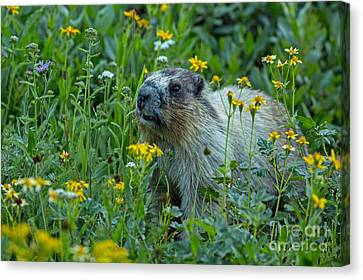 Hoary Marmot In Glacier Np Meadow Canvas Print by Natural Focal Point Photography
