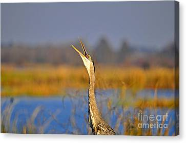 Hollering Heron Canvas Print by Al Powell Photography USA