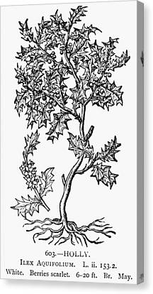 Holly Tree, 1581 Canvas Print by Granger