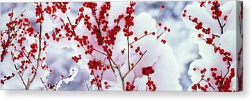 Holly Trees Kyoto Keihoku-cho Japan Canvas Print by Panoramic Images