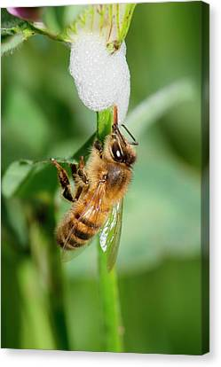 Honey Bee Drinking From Cuckoo-spit Canvas Print by Dr. John Brackenbury